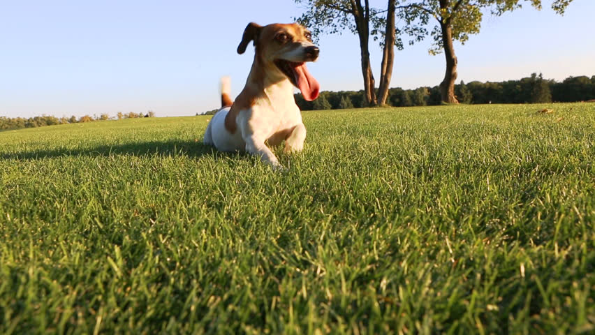 Agitated young healthy active dog dance on a green field with trees. #7270909