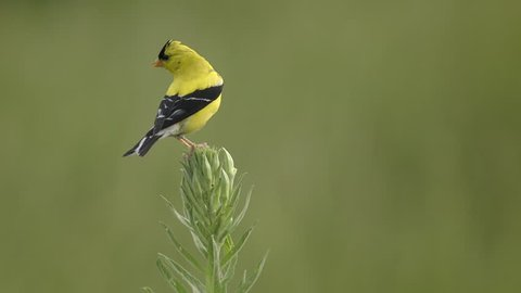 American Goldfinch yellow bird on wildflowers