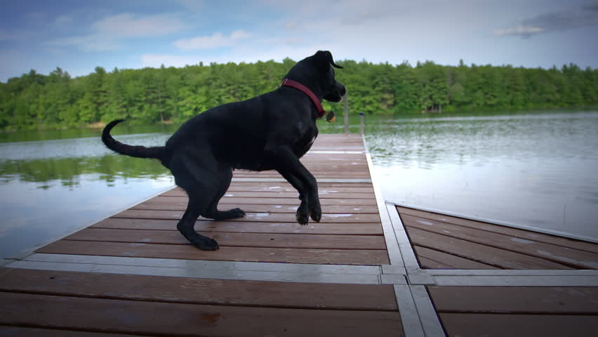 Black lab running down dock and jumping off into pond in slow motion with a big splash | Shutterstock HD Video #7303489