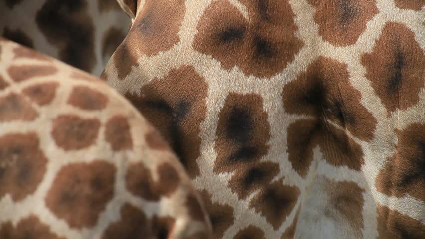 Giraffe | Shutterstock HD Video #732259