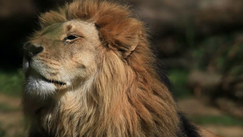 Lion #732439