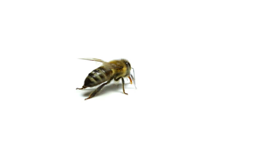Hd0030Bee Isolated On White