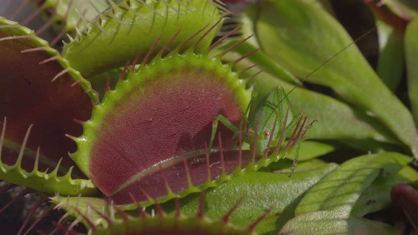 CLOSE UP: Grasshopper gets caught in carnivorous snap trap plant