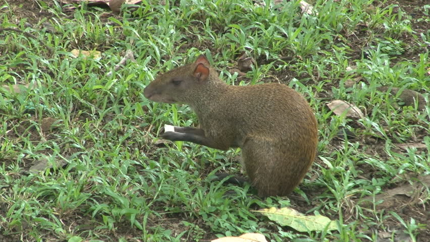 Agouti sits on haunches, eating.