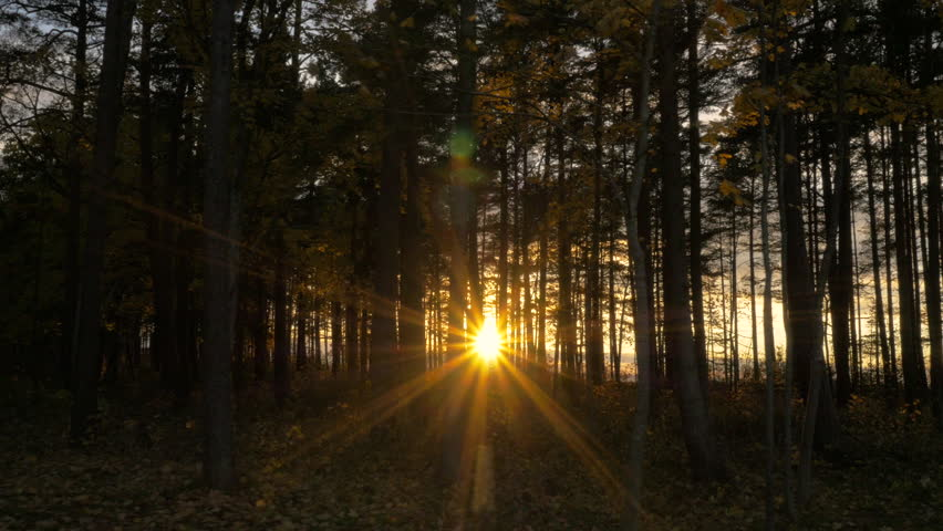 Sunlight through Trees in Forest at Sunset. Camera Gliding.