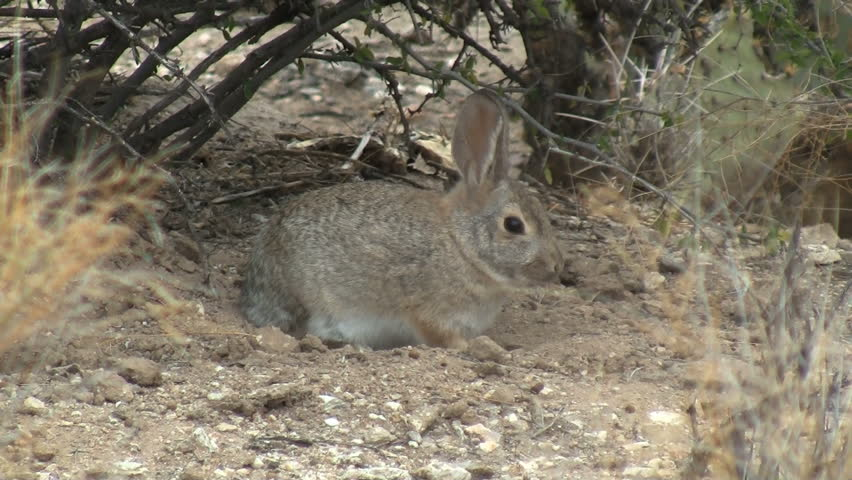 Desert Cottontail Taking Dust Bath