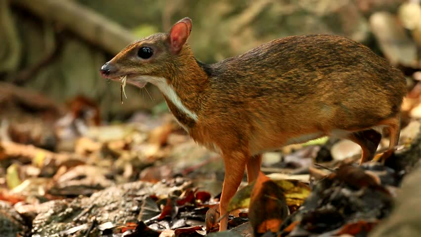 Lesser mouse-deer drinking water at the small pool in national park, thailand