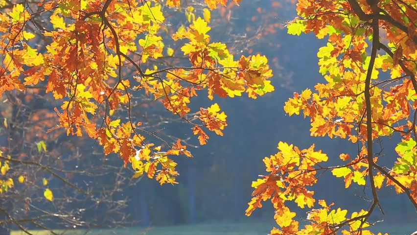 Tree branch oak in the fall | Shutterstock HD Video #7696549