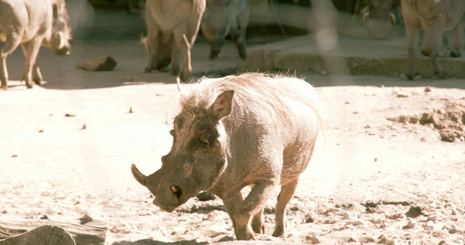 A Phacochoerus aethiopicus walking on the mud alongside other warthog. The desert warthog is a species of even-toed ungulate in the pig family