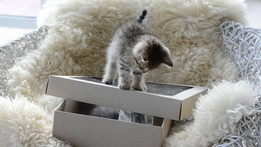 Silver tabby kitten playing with Gold tabby kitten on box | Shutterstock HD Video #7795732