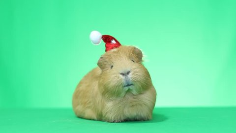 talking guinea pig in a Santa Claus hat with Christmas wishes on green screen