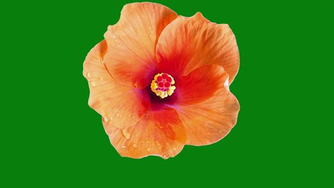 Hibiscus tropical flower time lapse bloom on green screen chroma key background with matte alpha channel