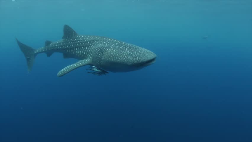 Whale Shark in Blue Water Stock Footage Video (100% Royalty-free) 7842499 |  Shutterstock