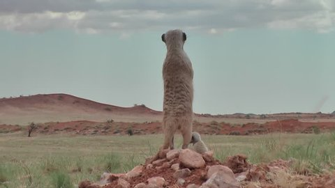 group of suricates with babies on outlook, nervous looking around