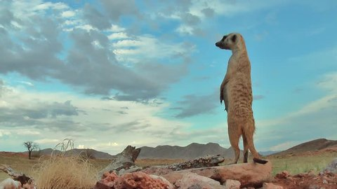 female suricate standing upright, watching