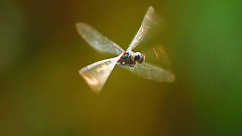 Close up view of dragonfly insect in wildlife nature. Slow motion fly