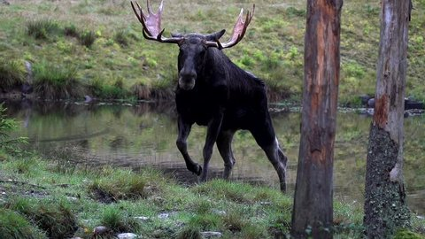 Moose in autumn - sweden - rutting season