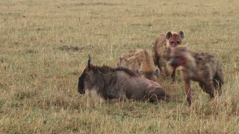 many hyenas eating a wildebeest alive.