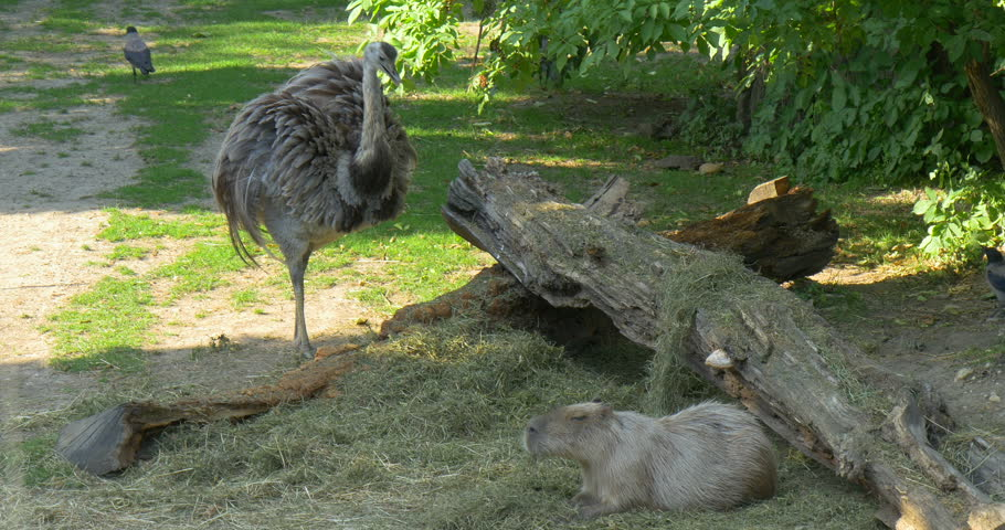 The Greater rhea (Rhea americana, nandu) bird animal, capybara (Hydrochoerus hydrochaeris) - largest rodent and the hooded crow bird (Corvus cornix), hoodiecrow in Vienna zoo, Austria, 4096x2160 4K
