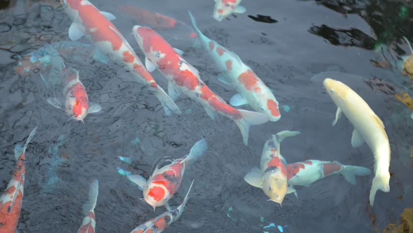 Japanese koi swimming in pond   Shutterstock HD Video #8212459