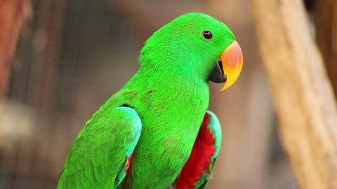 """Eclectus parrot, Scientific name """"Eclectus roratus"""" bird"""