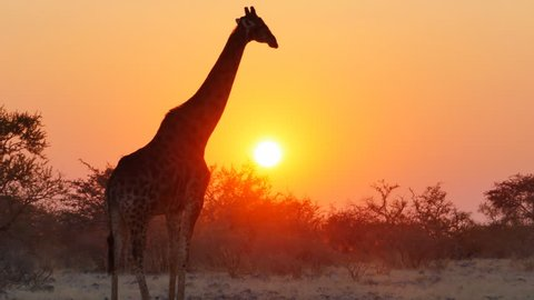 giraffe starts walking crossing the frame at the sunset with sun in the background
