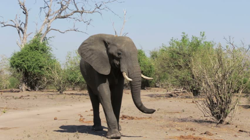 Header of African Elephants