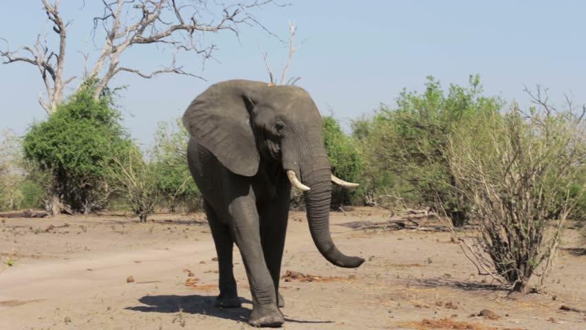 Header of African Elephants