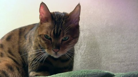 Bengal cat drools a little while kneading on a blanket, totally zoned out and blissful