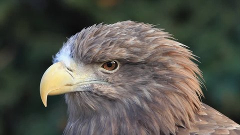 The head in profile of a white-tailed sea eagle or erne, Haliaeetus albicilla, on blur green background. Very beautiful raptorial bird with severe expression in the amazing HD footage.