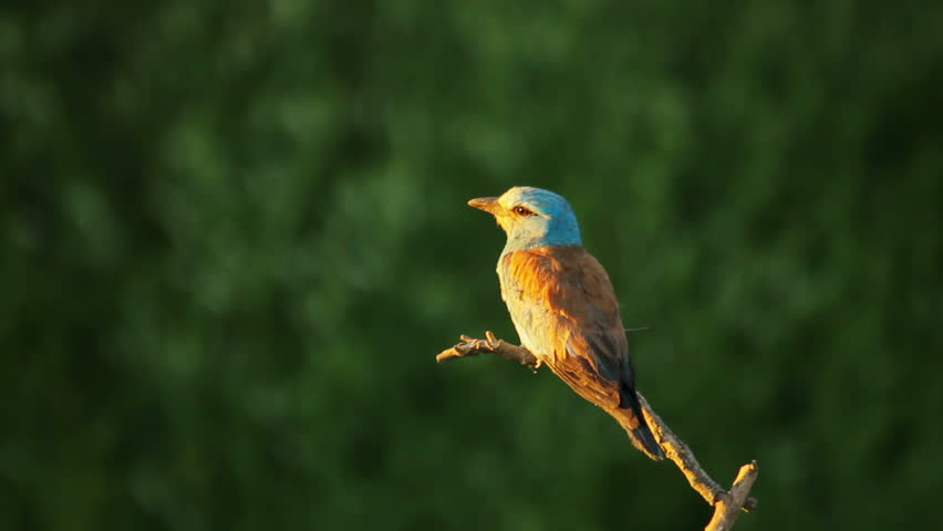 European Roller sitting on the branch in Southern Europe nature | Shutterstock HD Video #8501419
