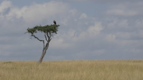 Vulture sitting on a solitary tree in Africa