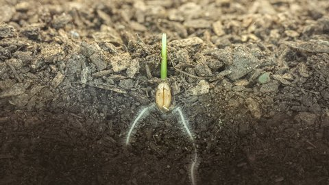 Macro timelapse video of a grain seed growing and blossoming from ground in soil, underground and overground view/Wheat plant growing from soil time lapse