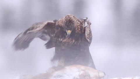 Golden Eagle in winter scenery alerted wind cold snow blizzard freezing
