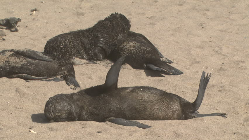 Baby seal pups relaxing on the beach on the West Coast of the Northern Cape,