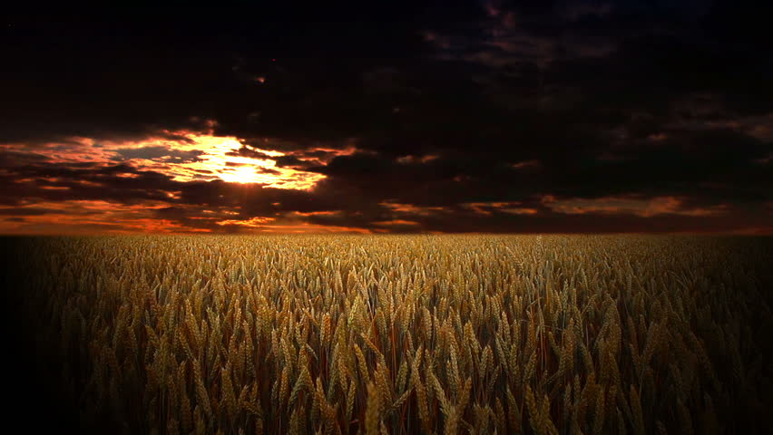 Field Of Ears On A Stock Footage Video (100% Royalty-free