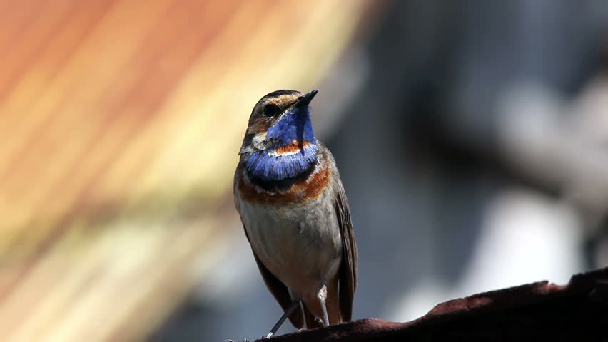 Charming Male Bluethroat (Luscinia Svecica). The Beautiful Bird Sings A Spring Song.  Stock Footage Video 861739 | Shutterstock Awesome Design