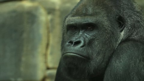 Chewing gorilla male close up in profile, severe silverback, sitting on rocky background. Chief of the primate family, the biggest monkey or great ape. Amazing beauty of wildlife in the HD footage.