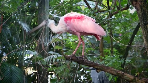 Roseate Spoonbill (Platalea ajaja) perches on a branch by a pond in Florida, USA. The spoon-shaped bill allows it to sift easily through mud in search of prey. A gregarious bird in the ibis family.