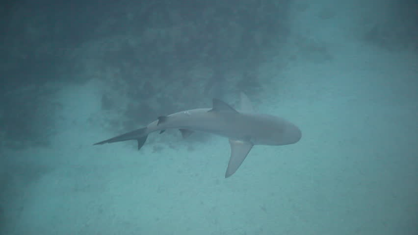 Bull or Zambezi shark (Carcharhinus leucas) swimming on the Protea Banks reef in the Indian Ocean off the east coast of KwaZulu-Natal, South Africa