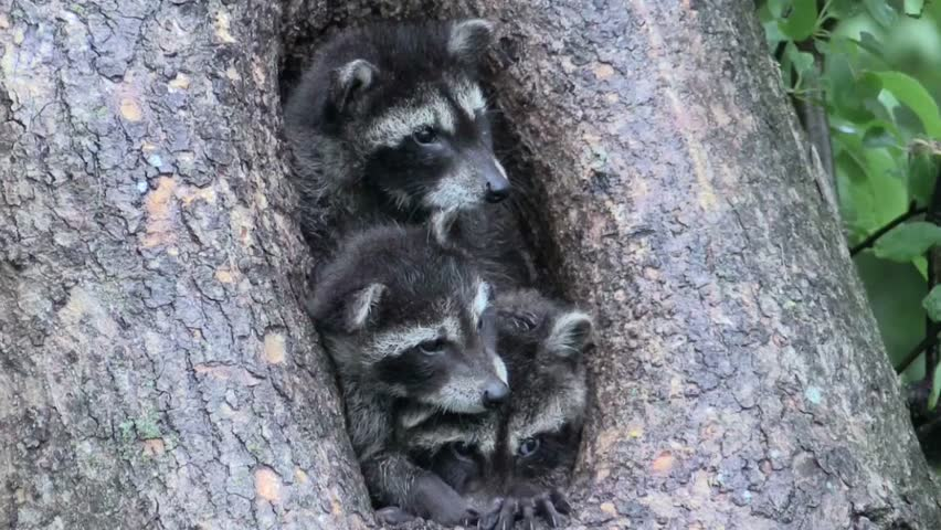Three baby raccoons jockeying for position in a tree hollow