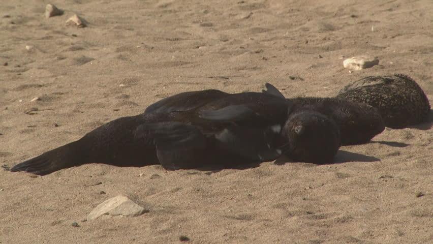 Cute seal pup lying on the beach