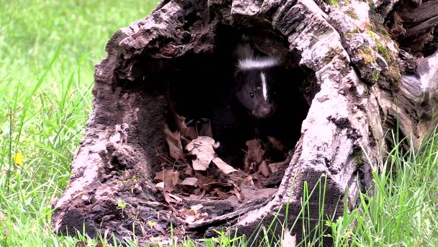 Protective mother skunk stomps and hisses