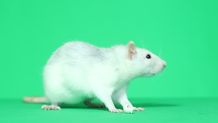Funny rat washing himself green screen | Shutterstock HD Video #8765173
