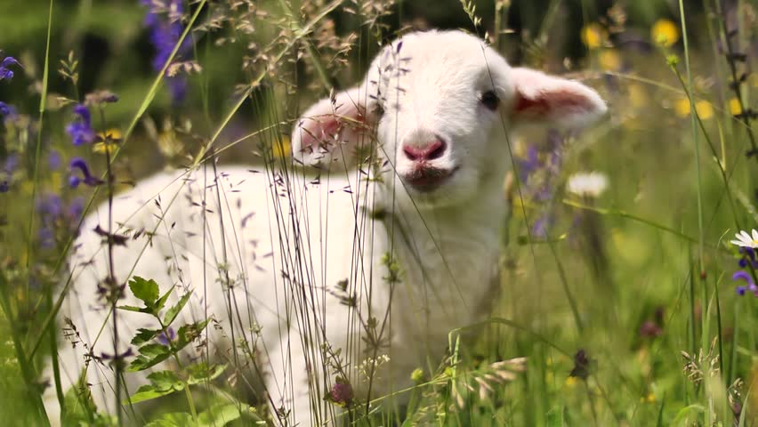 Little lamb between flowers