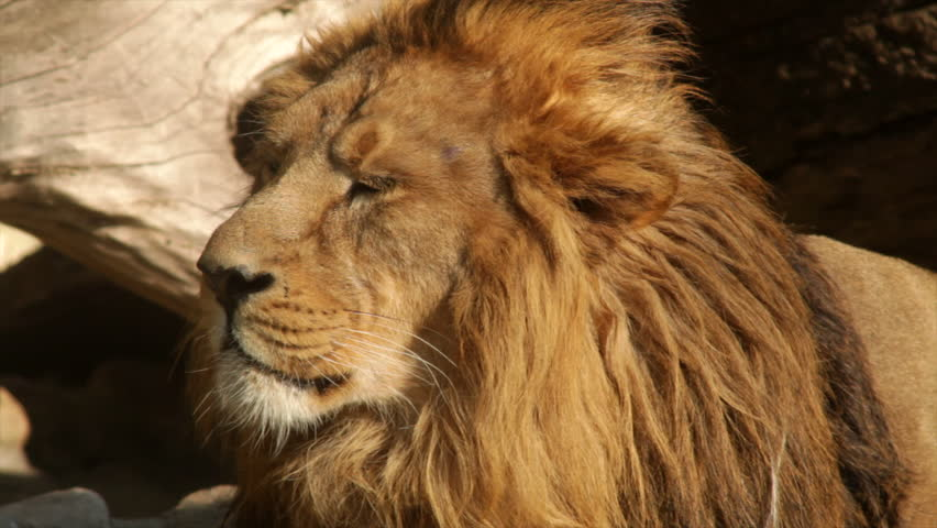 Sunny head close up of a drowsy lion, dozing on fallen tree background. King of beasts, biggest cat of the world, horoscope and zodiac symbol. Amazing beauty of the wildlife in excellent HD footage. #8804809