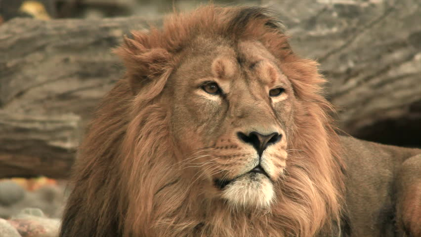 Long eye contact with adorable golden lion on fallen tree wood background. King of beasts horoscope and zodiac symbol. Amazing beauty of wildlife in excellent HD clip, sepia toned in retro film style. #8814019