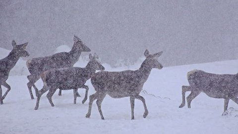4k White-Tailed Deer In The Snow, uhd stock video