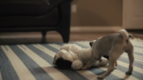 Adorable Chinese Pug Puppy Plays with a toy cat in slow motion