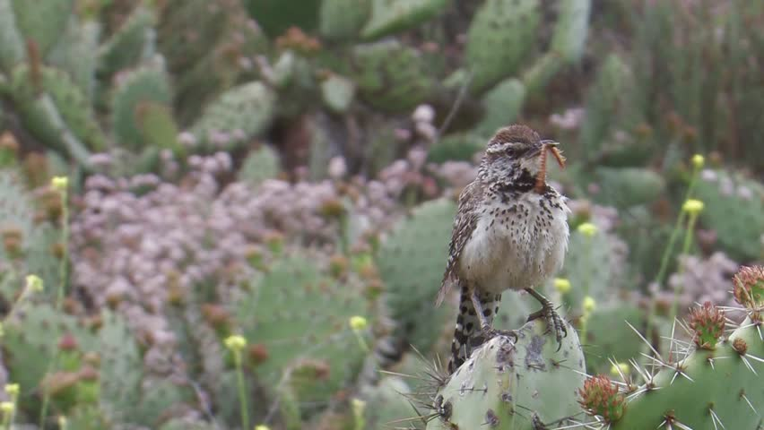 "Cactus Wren ""Pacific Coast race) perched on cactus with an insect in its beak and singing."